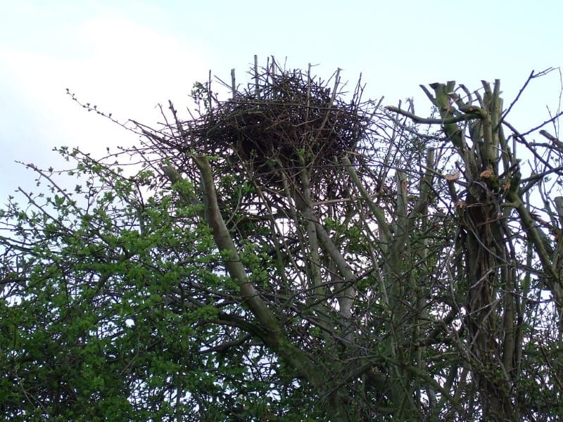 What Does a Squirrels drey or nest look like