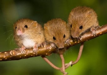 Three harvest mice friends forever
