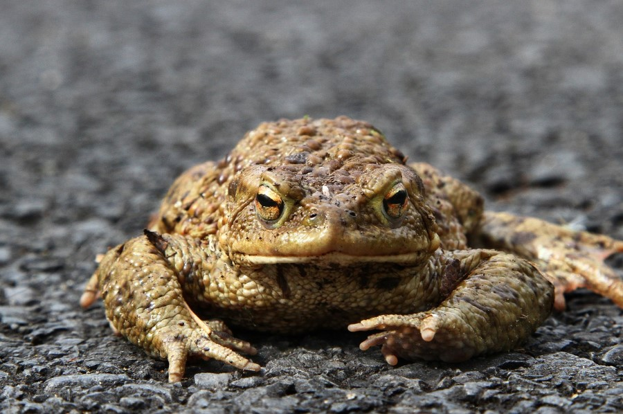 adult toad