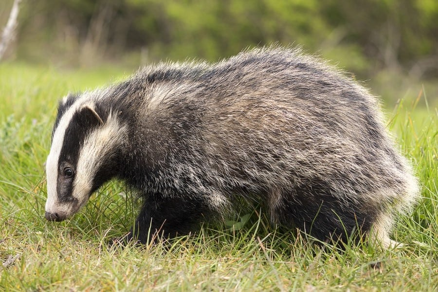 badgers eat foxes