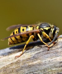 do wasps and hornets sting birds