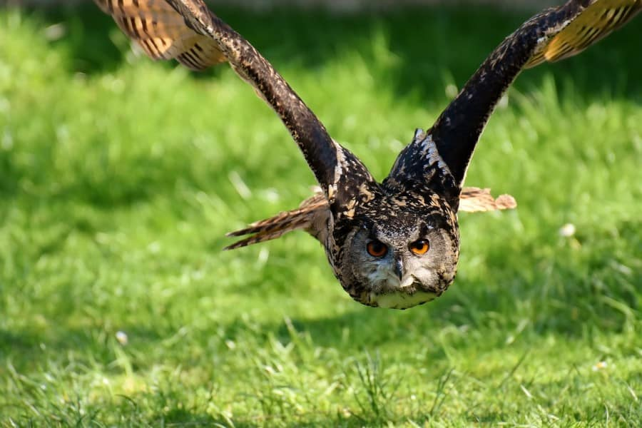 owls eat foxes