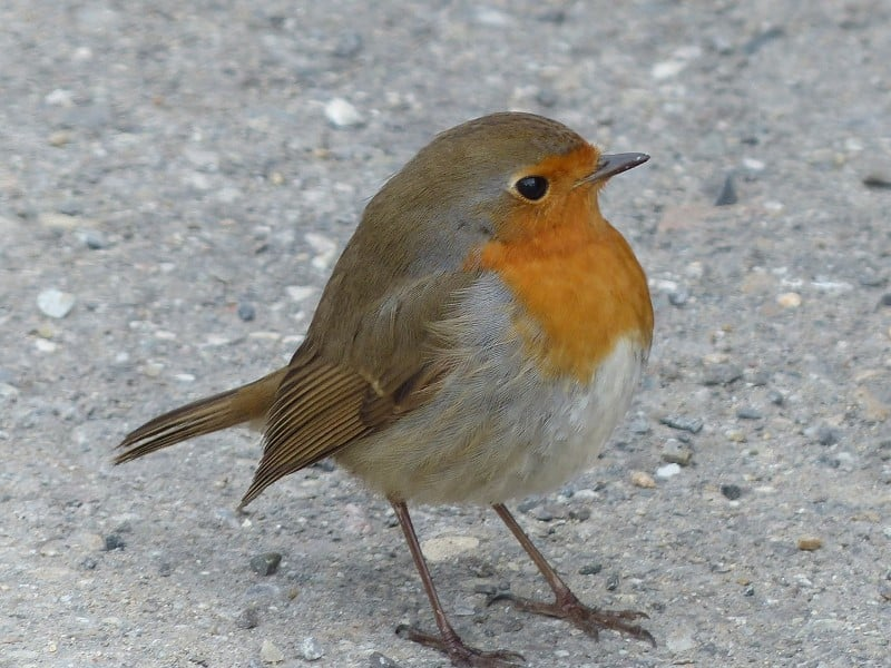 why do robins hop - robin standing on floor
