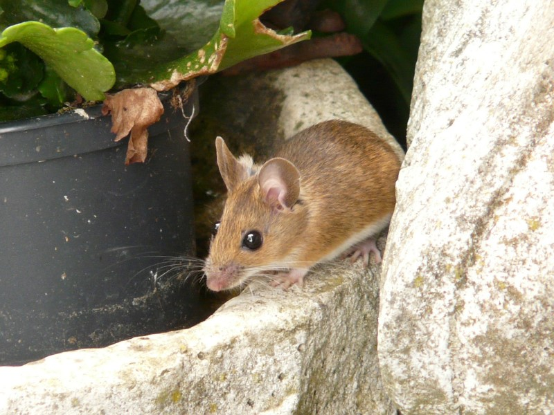 field mouse, wood mouse