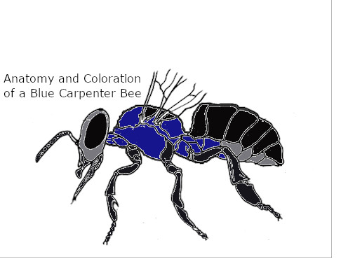 blue carpenter bee anatomy and coloring