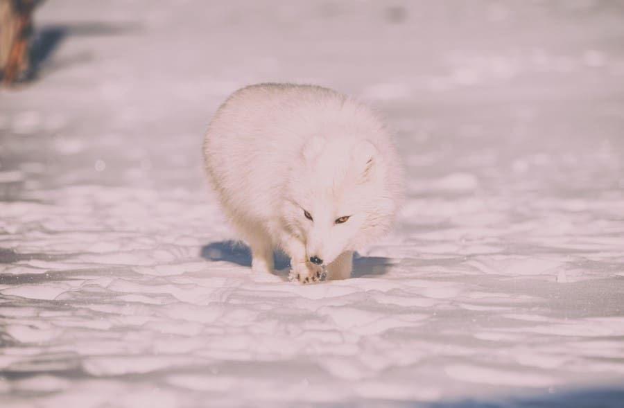 arctic fox towards the end of winter