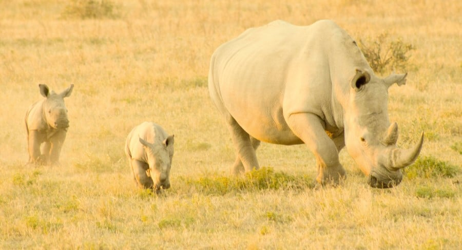 baby rhinos - calves, with their mother - cow