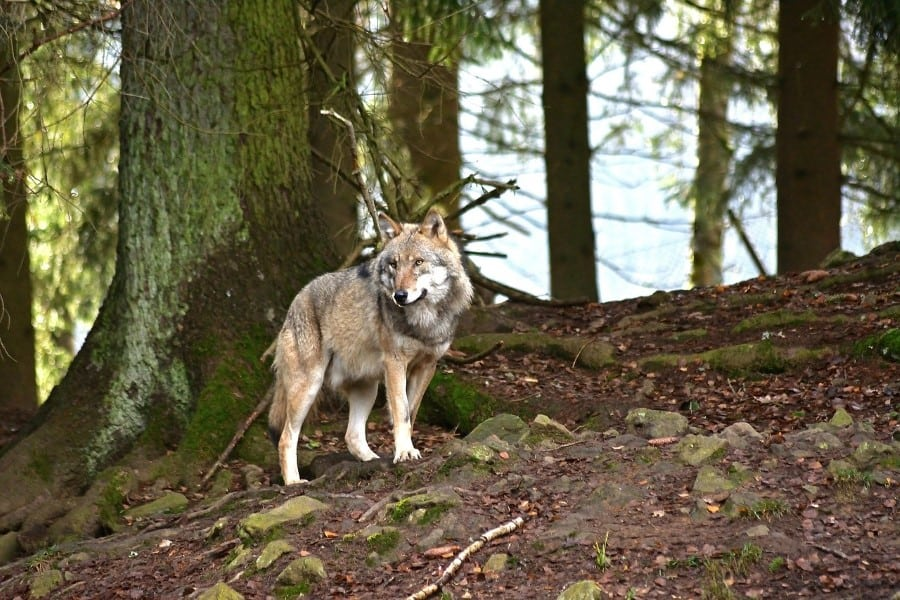 can wolves climb trees