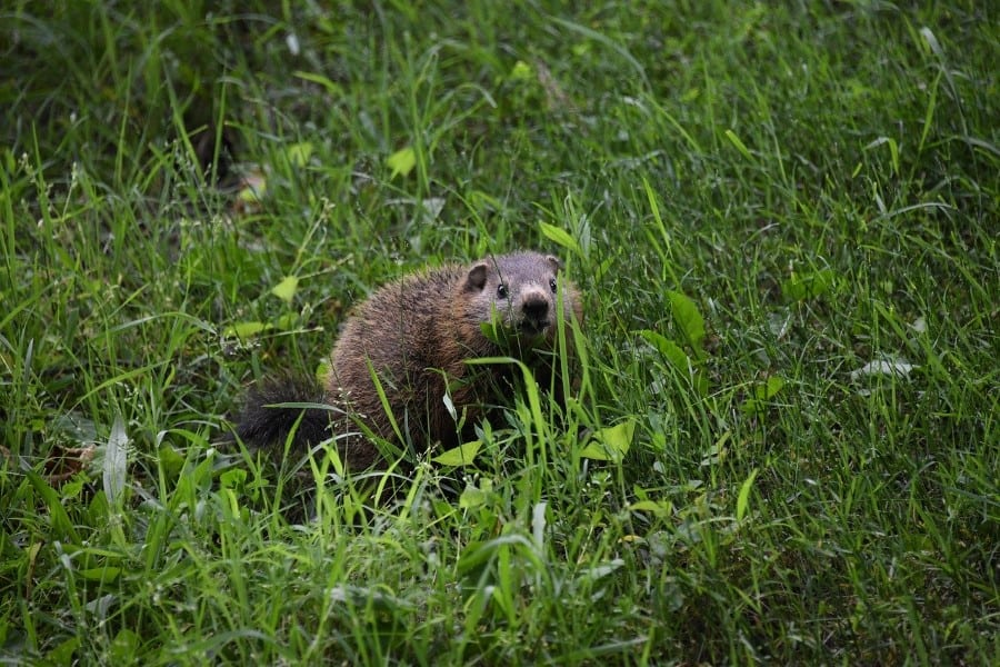 groundhogs eat lots before winter