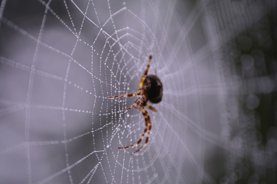 spiders spin webs at night