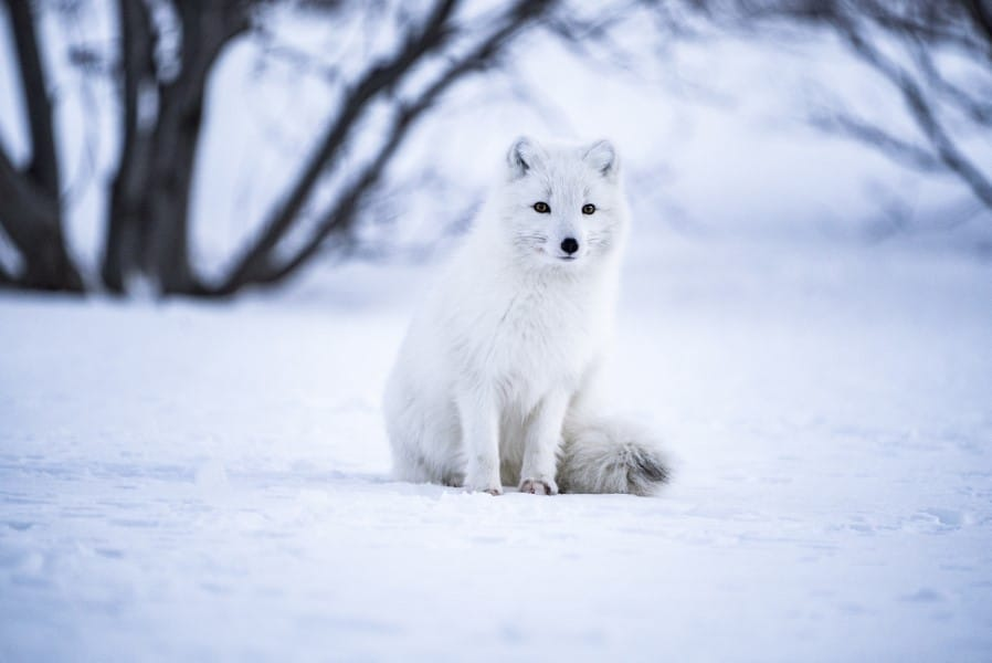 what do arctic foxes eat