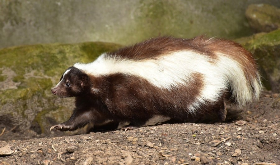 a skunk likes to feed on small animals and insects