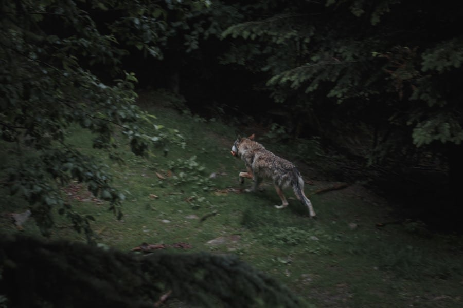 wolf hunting in the wild