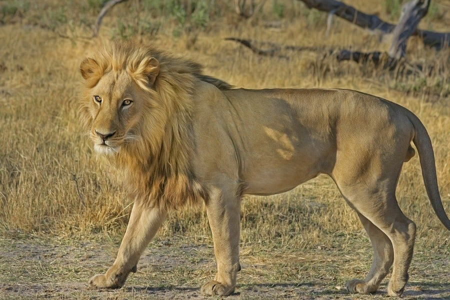 male lions eat first