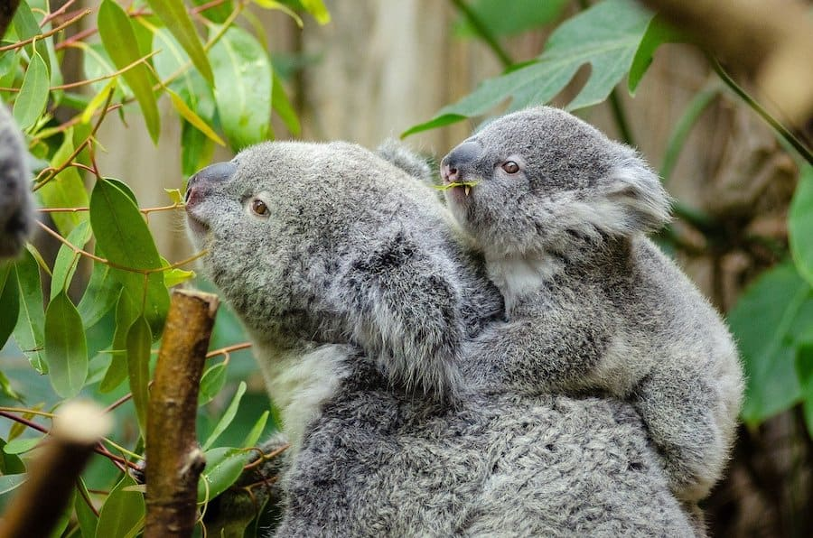koala will defend their young