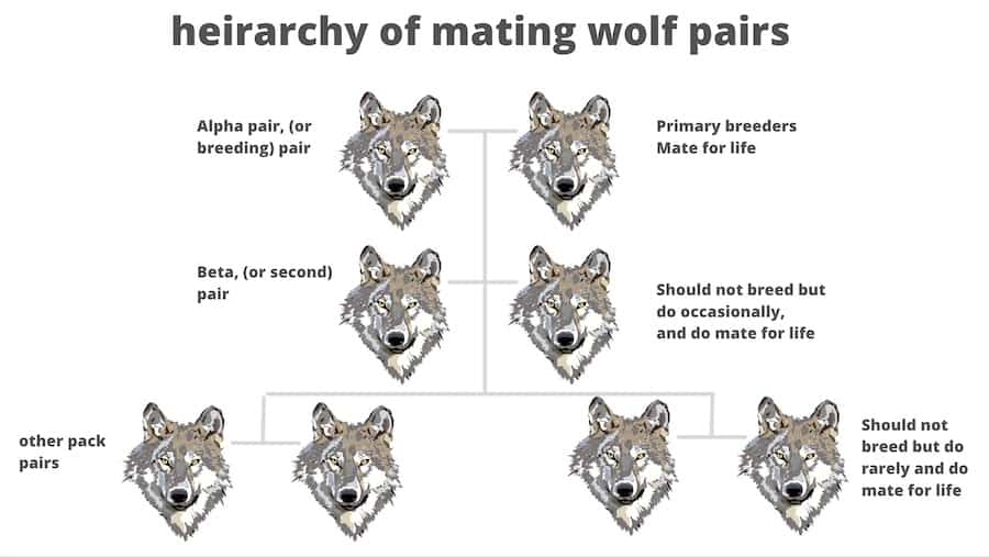 mating wolf pairs heirarchy