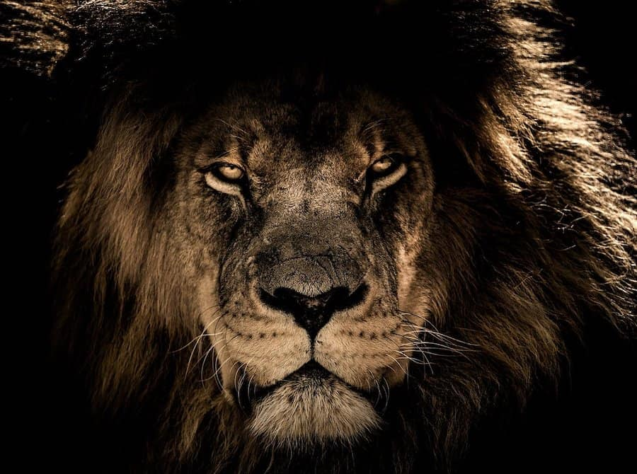 an african lion - king of the jungle