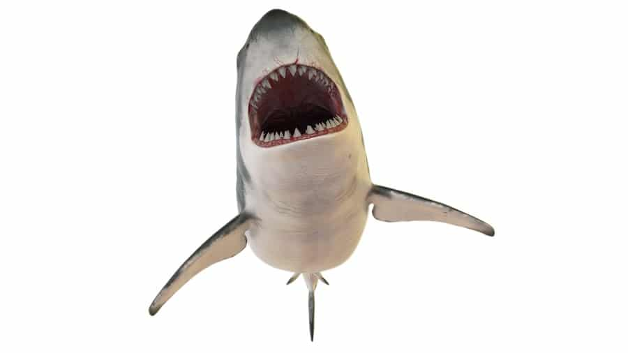 do sharks have tongues