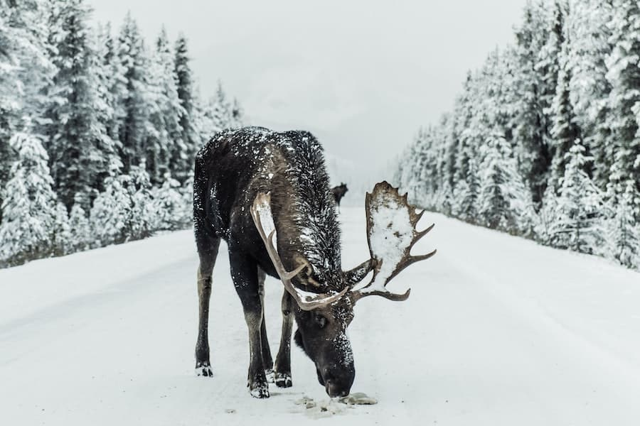 When it snows the moose come on the roads to eat off the salty/gravel that get's sprayed on the roads