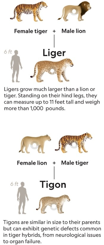 ligers and tigons mating results