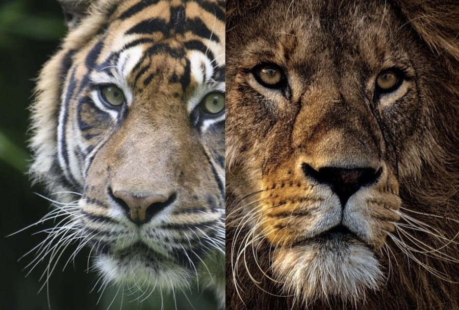 image of a tigers face and a lions face next to each other